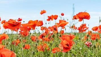fantastisk vallmoäng som blommar på centrala Krim. foto