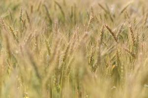 närbild korn oskärpa för bakgrunden. foto