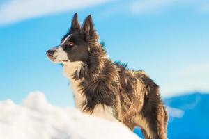 border collie på snö foto