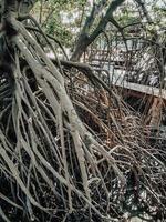 närbild av långa mangrove trädrötter. mangroveskogen i Samut Prakan, Thailand foto