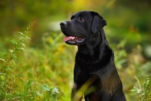 svart labrador sitter i gräset foto