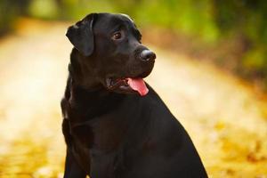 svart labrador sitter och tittar bort foto