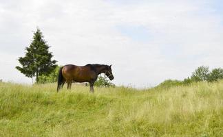 vacker vildhäst hingst på sommarblommaäng foto