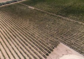 rader av vingårdar sett från drönaren foto