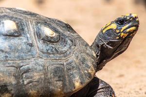 rödbenad sköldpadda som går på sand i Brasilien foto