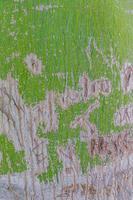 grön sprucken trädbarkstruktur av ett tropiskt träd mexico. foto