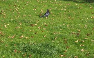 svart kråka fågel foto