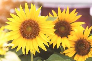 grupp solrosor i naturen. blomma och flora koncept. foto