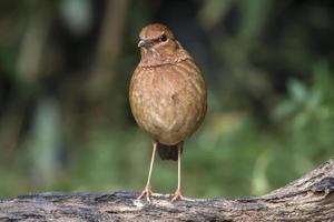 fåglar i naturen pitta oatesi foto