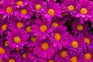 rosa blommor med vackra kronblad foto