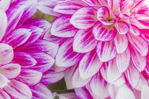 dahlia kronblad pinnata cav i trädgården foto