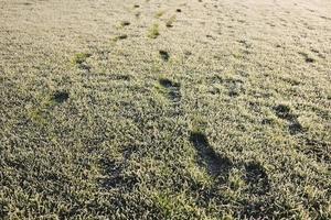 fotspår i gräs med hoar frost på morgonen foto
