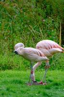 två chilenska flamingos vid fiskdammens gröna stränder i harewood house trust area i västra yorkshire foto