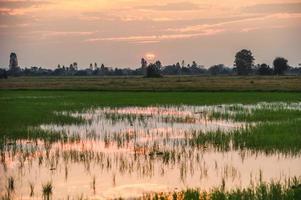 risfält med dammreflektion med solnedgång foto