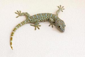 färgglada mönster av gecko på gipsvägg foto