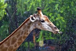 huvudet och halsen på en giraff som äter vatten. foto
