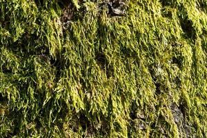 naturlig bakgrund med grön mossa foto