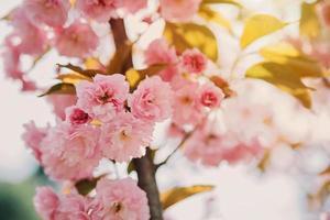 kvistar av rosa sakura blommar i solen. mjukt selektivt fokus. vårens blommiga konsistens. foto