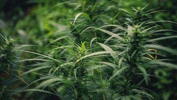 cannabis sativa växt som växer utomhus foto