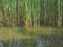 damm med vattenväxter foto