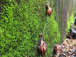 afrikanska jätte sniglar foto
