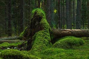 stor rot från ett nedfallet gran täckt med grön mossa foto
