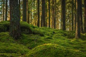 älv tall- och granskog med grön mossa som täcker golvet foto