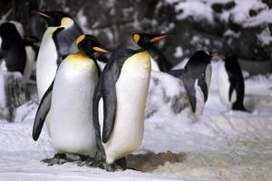 kejsarpingviner som hänger tillsammans foto