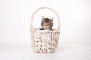 maincoon kattunge med stora ögon i korgen foto