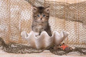 maincoon kattunge med stora ögon foto