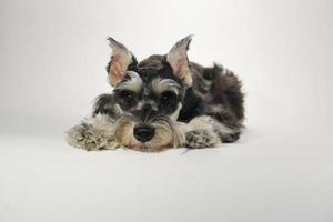 söt miniatyr schnauzer valp hund på vit bakgrund foto