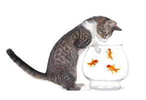 kattunge som tittar på fisk simma med tassar på akvarium foto