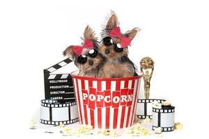 coola yorkshire terrier valpar som firar hollywoodfilmer foto