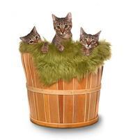 små kattungar i en korg foto