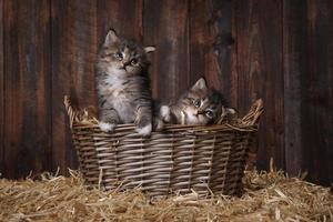 söta bedårande kattungar i en ladugård med hö foto