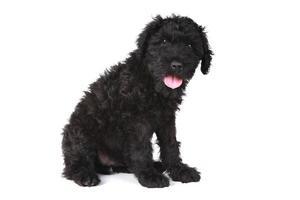 söt svart rysk terrier valp hund på vit bakgrund foto