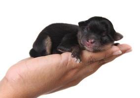 svart valp sover i handen foto