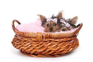 yorkshire terrier valpar klädda i rosa foto