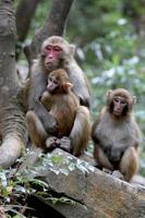 feral rhesus apor som bor i Zhangjiajie nationalpark Kina foto