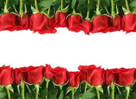 rader av röda rosor på vitt foto