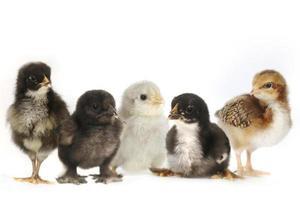 många baby kyckling kycklingar uppställda på vitt foto