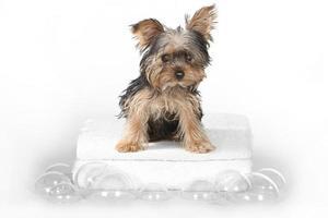 tekopp yorkshire terrier på vitt bad foto