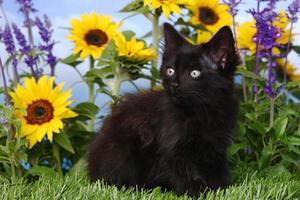 söt svart kattunge i trädgården med solrosor och salvia foto