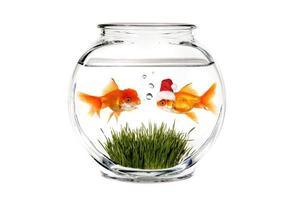 guldfisk berättar tomten vad han vill ha för jul foto