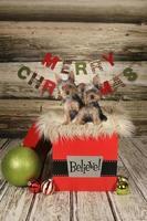 valpar på julbakgrund foto