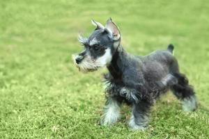 liten miniatyr schnauzer valp hund foto