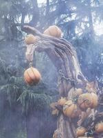 halloweenpumpor inhysta i skräck med skräckatmosfär, med ögon och mun inskurna i den orange pumpan foto