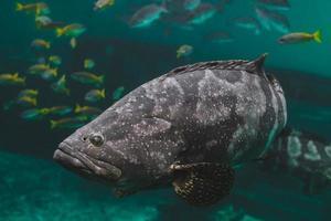 jätte grouper eller brun fläckig grouper fisk. foto