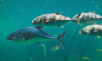 levande knektar eller trevallies fisk simmar. foto