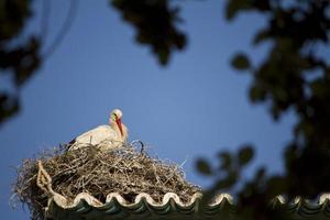 vit stork på ett bo foto